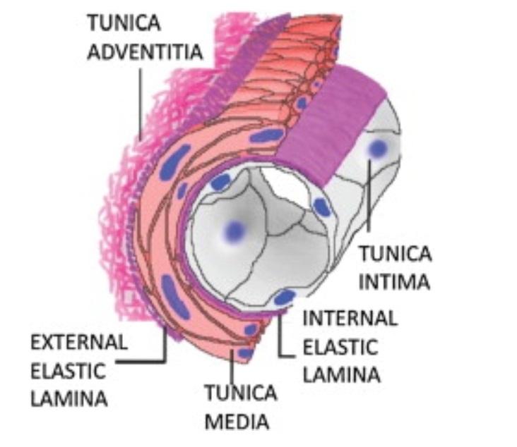 Pelin Guven Geredeli – Arterial Wall Layers